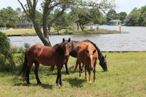 The Wild Horses of Carova